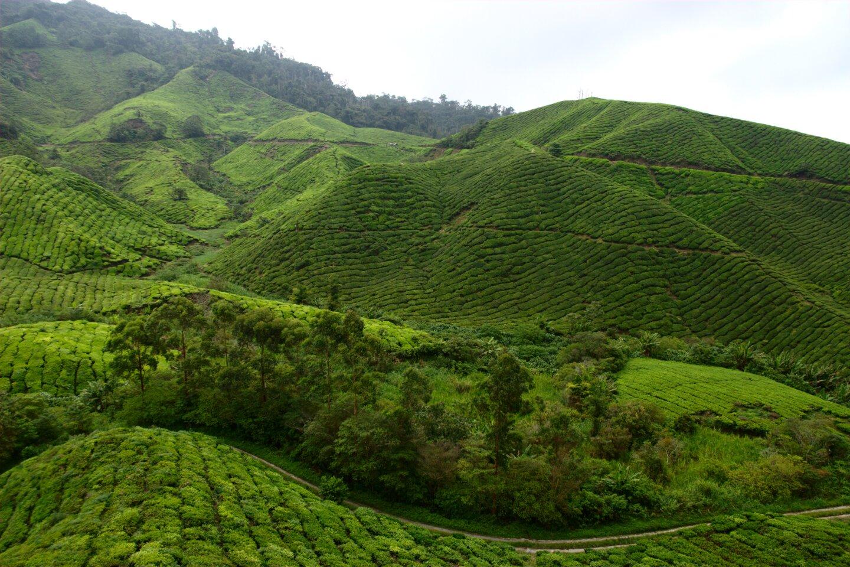 Plantacja herbaty BOH